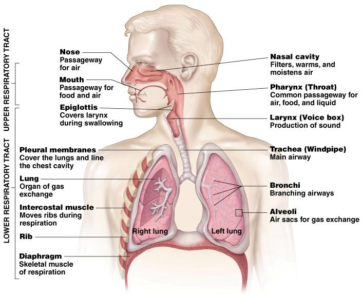 The respiratory system the human body systems ccuart Images